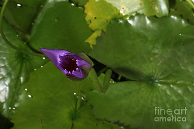Photograph - Waterlily Opening Part Of A Series by Ted Kinsman