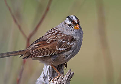 Red Photograph - White-crowned Sparrow by Gary Wing