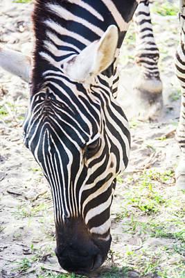 Photograph - 11057 Zebra by Pamela Williams