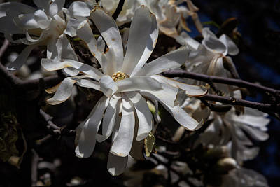 Photograph - Magnolia Blossoms by Robert Ullmann
