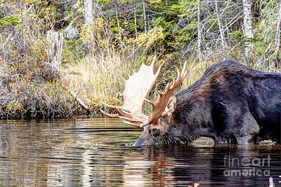 Maps Maps And More Maps - 1180 Bull Moose by Steve Sturgill