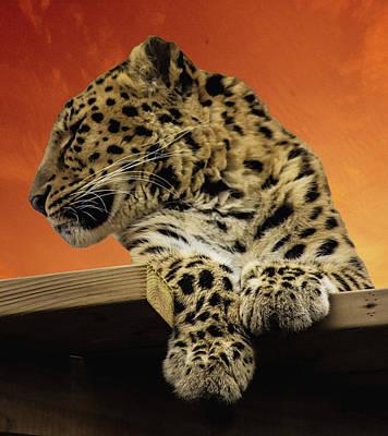 Felidae Photograph - Amur Leopard by Martin Newman