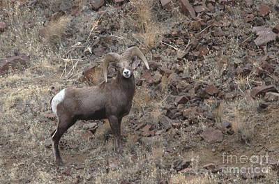 Photograph - California Big Horn Sheep by Gary Wing