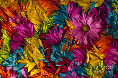 Photograph - Daisy Petals Abstracts by Jim Corwin