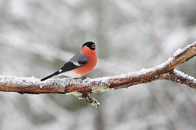 Jouko Lehto Royalty-Free and Rights-Managed Images - Eurasian bullfinch in winter by Jouko Lehto