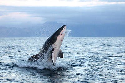 Fish Out Of Water Photograph - Great White Shark Carcharodon Carcharias by Gerard Lacz