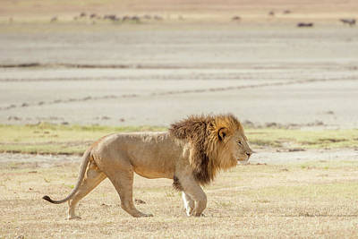 Photograph - Lion  In Serengeti by Marek Poplawski