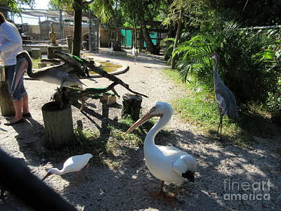 Charlotte Photograph - Pelicans by Frederick Holiday