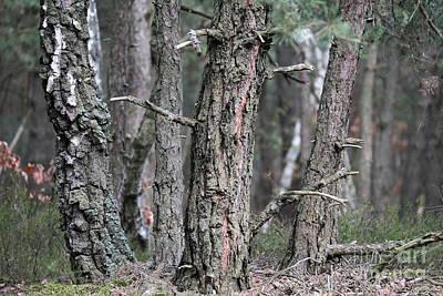 Photograph - Pine Trees by Dariusz Gudowicz