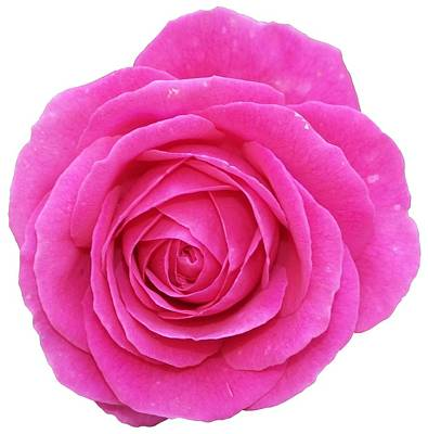 Royalty-Free and Rights-Managed Images - Rose by George Atsametakis