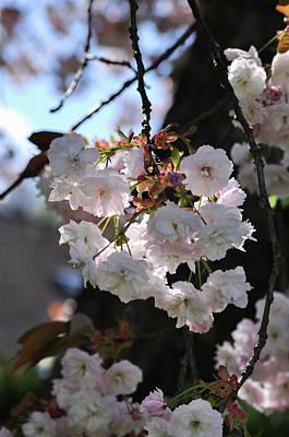 Photograph - Sakura Cherry Blossoms Prunus Serrulata Shirofugen by Martin Stankewitz