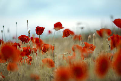 Flora Photograph - Summer Poppy Meadow by Nailia Schwarz