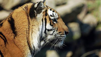 Cats Digital Art - Tiger by Super Lovely