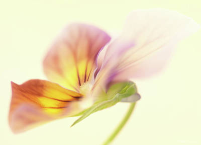 Wall Art - Photograph - Pansy by Anne Geddes