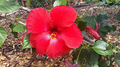Flower Photograph - Chinese Hibiscus by Christina Taylor