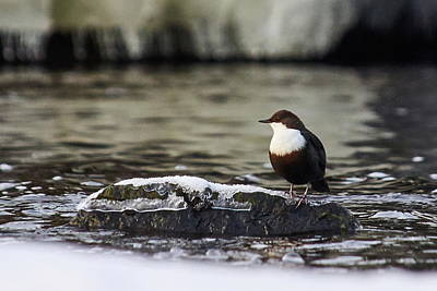 Photograph - White-throated Dipper by Jouko Lehto