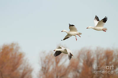 Photograph - 1,2,3,geese by Ruth Jolly
