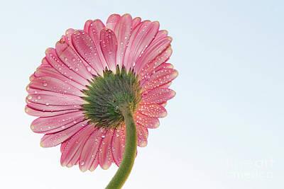 Photograph - Pink Gerber by Elvira Ladocki