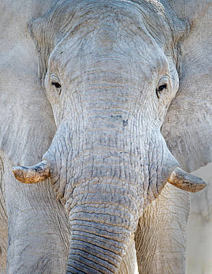 Elephant Photograph - African Elephant Loxodonta Africana by Panoramic Images