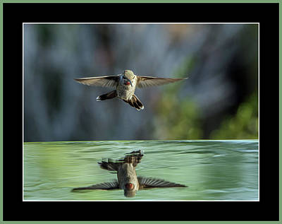 Photograph - Anna's Hummingbird by Tam Ryan