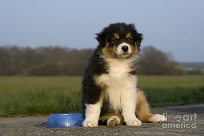 Mess Photograph - Australian Shepherd Puppy by Jean-Louis Klein & Marie-Luce Hubert