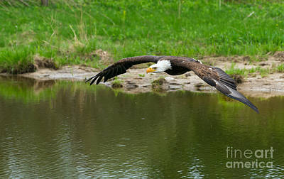 Photograph - Bald Eagle  by Les Palenik