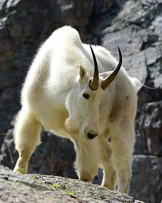 Furman Photograph - Billy Goat by Criss Furman