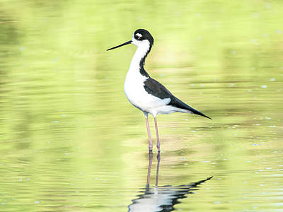 Photograph - Black-necked Stilt by Tam Ryan