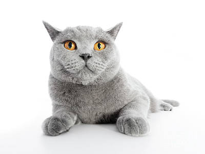 Photograph - British Shorthair Cat Isolated On White. Lying by Michal Bednarek