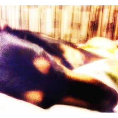 Photograph - #dogs #petstagram #gsd #germanshepherd by Isabella F Abbie Shores