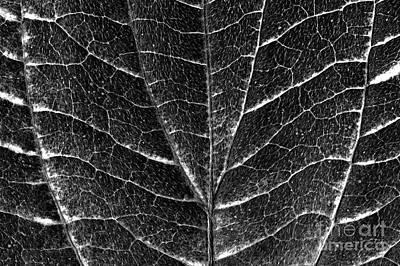 Photograph - Dogwood Leaf Backlit by Jim Corwin