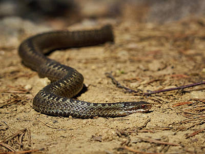 Photograph - European Adder by Jouko Lehto