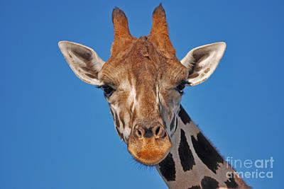 Photograph - 13- Giraffe by Joseph Keane