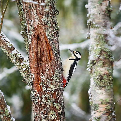 Pittsburgh According To Ron Magnes - Great spotted woodpecker by Jouko Lehto