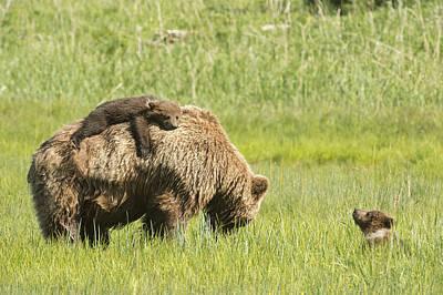 Grizzly Bear  Ursus Arctos Horribilis Art Print by Daisy Gilardini