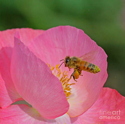 Pink Photograph - Honeybee by Gary Wing
