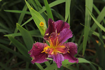 Photograph - Louisiana Iris by Ronald Olivier