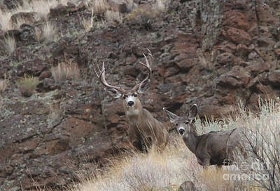 River Photograph - Mule Deer by Gary Wing