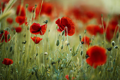 Royalty-Free and Rights-Managed Images - Summer Poppy Meadow by Nailia Schwarz