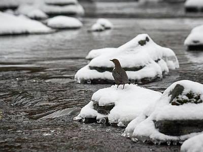 Photograph - White-throated Dipper by Jouko Lehto