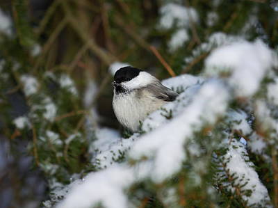 Photograph - Willow Tit by Jouko Lehto