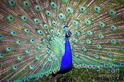Photograph - 1366 Peacock Beauty Milwaukee County Zoo by Steve Sturgill