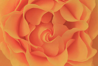 Photograph - 14 Carat Gold Rose by Kay Kochenderfer