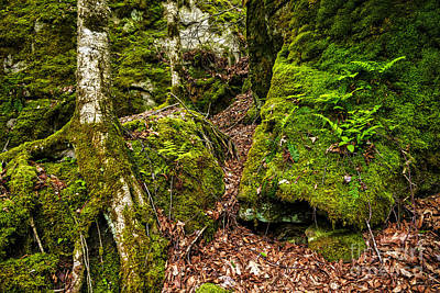 Tree Roots Photograph - Cranberry Wilderness by Thomas R Fletcher