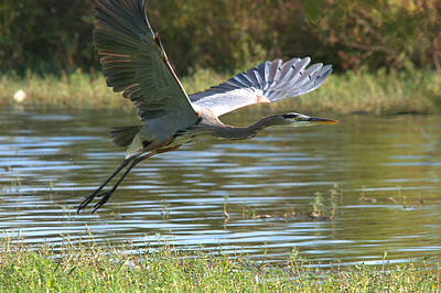 Great Blue Heron In Flight Art Print by Roy Williams
