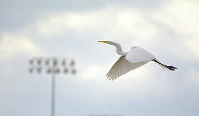 Photograph - Great Egret In Flight by Roy Williams