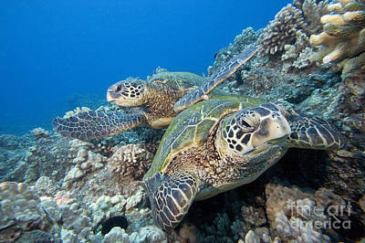 Hawaii Photograph - Hawaii, Green Sea Turtle by Dave Fleetham - Printscapes