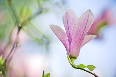Growing Photograph - Magnolia Flowers by Nailia Schwarz