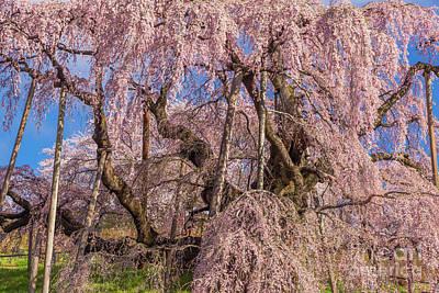 Photograph - Miharu Takizakura Weeping Cherry14 by Tatsuya Atarashi