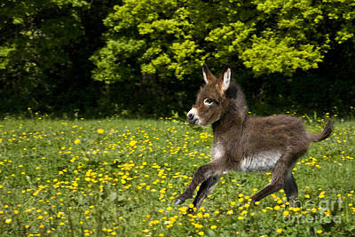 Miniature Donkey Photograph - Miniature Donkey Foal by Jean-Louis Klein and Marie-Luce Hubert
